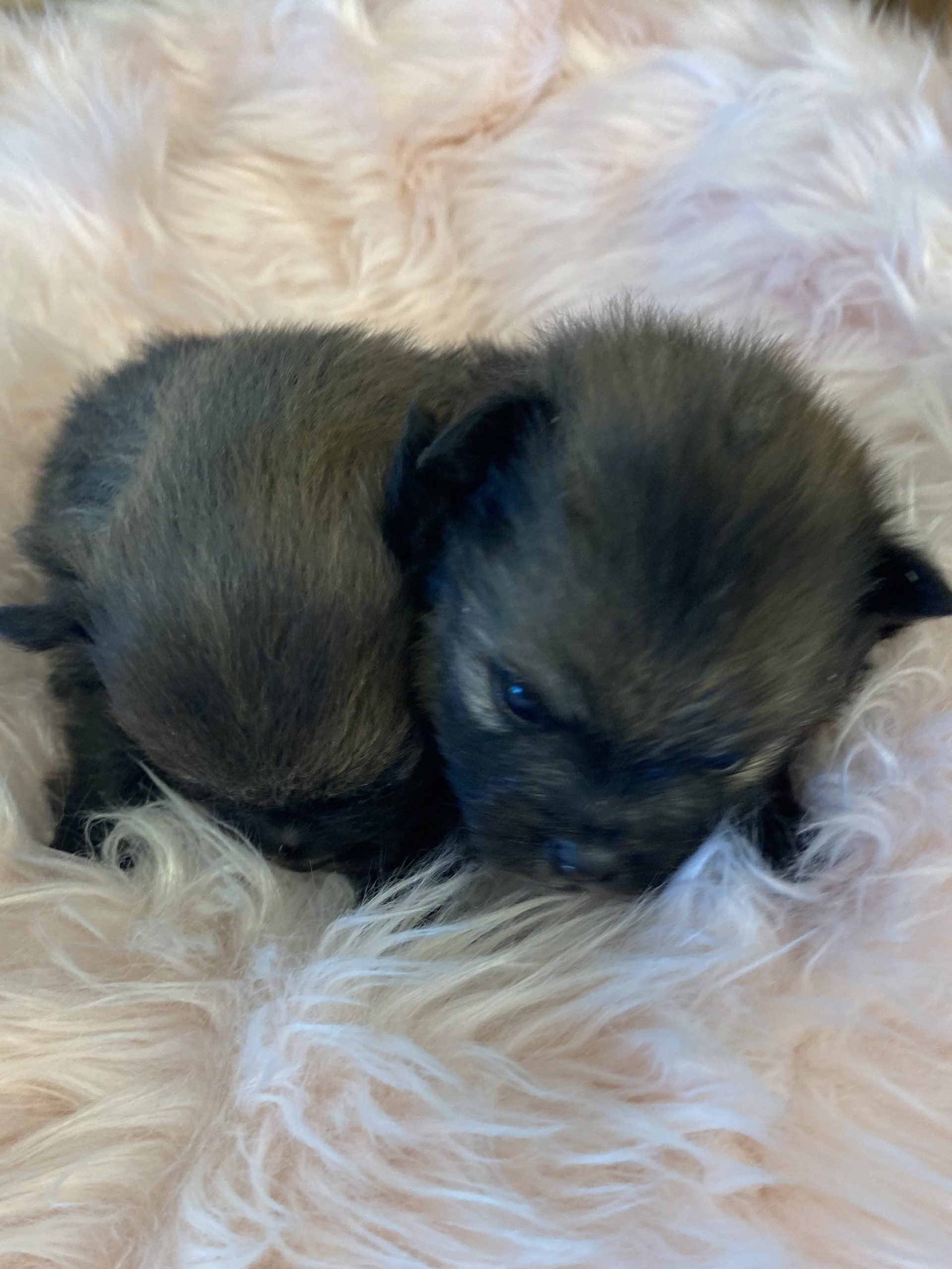 Available Puppies